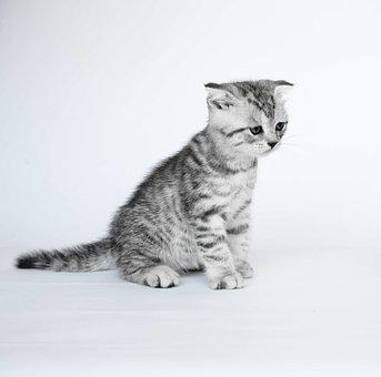 Krótkowłosy Koty Zdjęcia Pixabay Pobierz Darmowe Obrazy