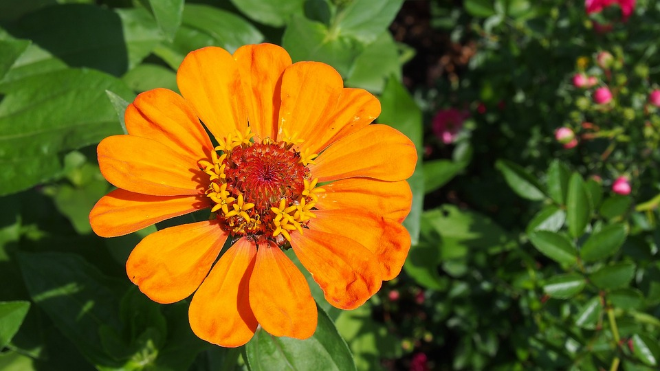 Zinnia, Flower, Garden, The Plot, Nature