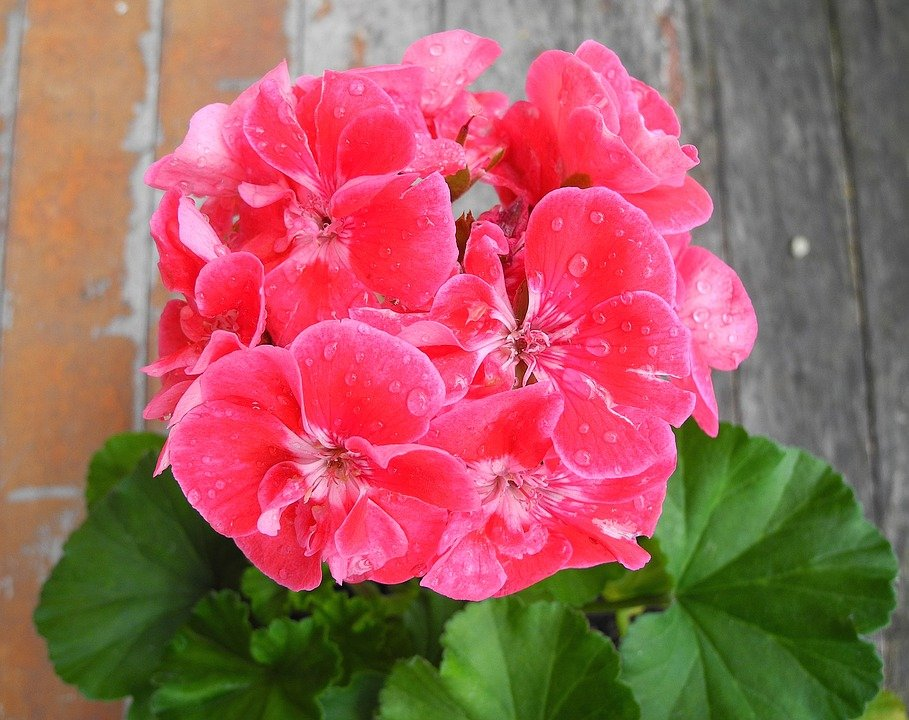 Geranium flower pink free photo on pixabay geranium flower pink geranium pink potted flower mightylinksfo