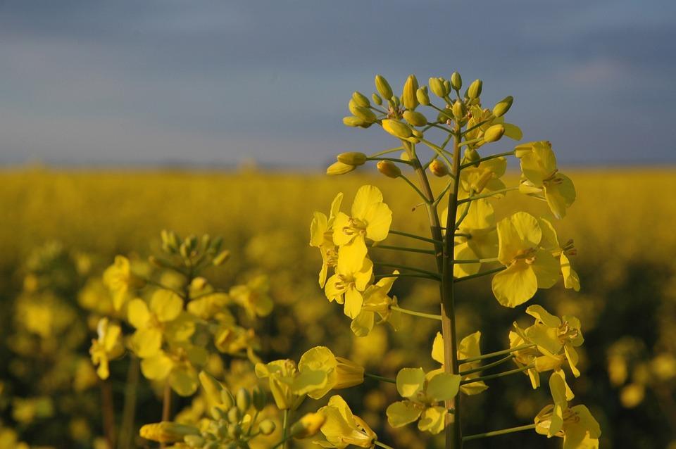 nature canola field flower free photo on pixabay