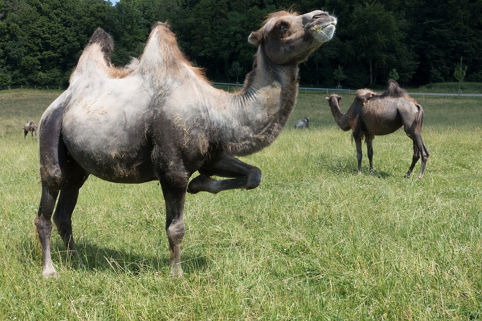 Cammello, Camelus Bactrianus, Paarhufer, Mammifero
