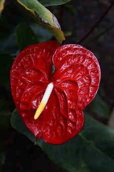 Anthurium free pictures on pixabay for Anthurium rosso
