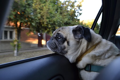 Dog, Pug, Car Shop Dog, Cute