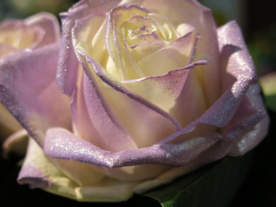 Rose Weiß Lila · Kostenloses Foto auf Pixabay