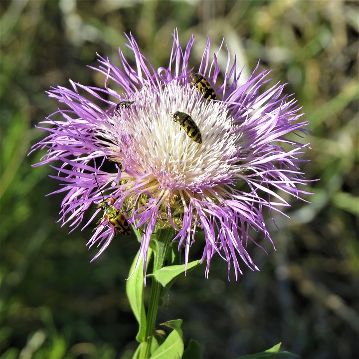 Flower blue and white thistle free photo on pixabay flower blue and white thistle hiking north texas mightylinksfo