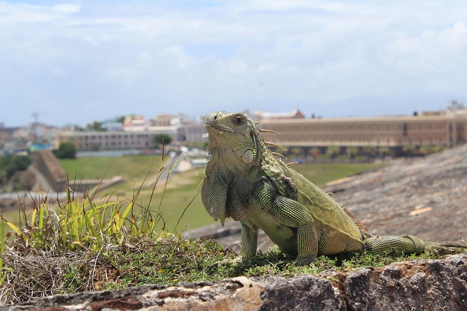 San Juan, Portoryko, Legwan