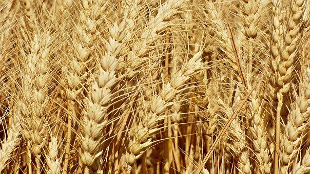 Мировой рынок зерна: пшеница в Европе подросла