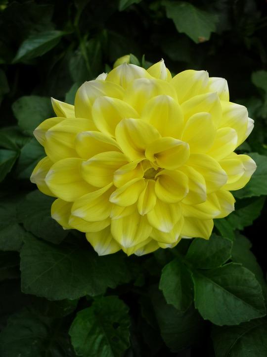 photo gratuite: dahlia, jaune, jardin, fleur - image gratuite sur