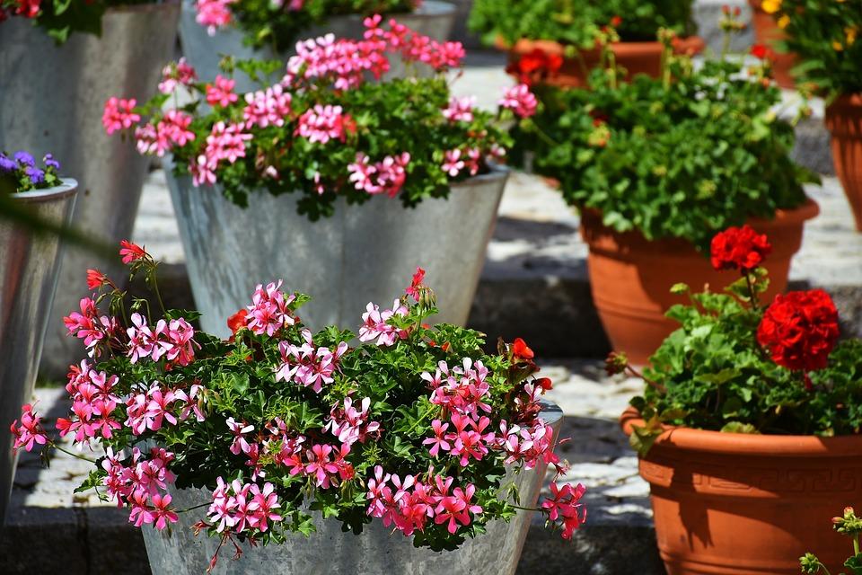 Gerânio Flor Varanda Flores Foto Gratuita No Pixabay