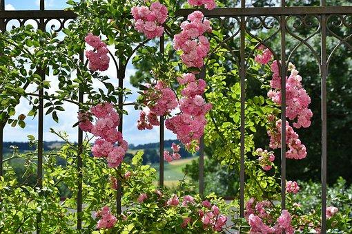 Rose, Pink, Rose Flower, Floribunda