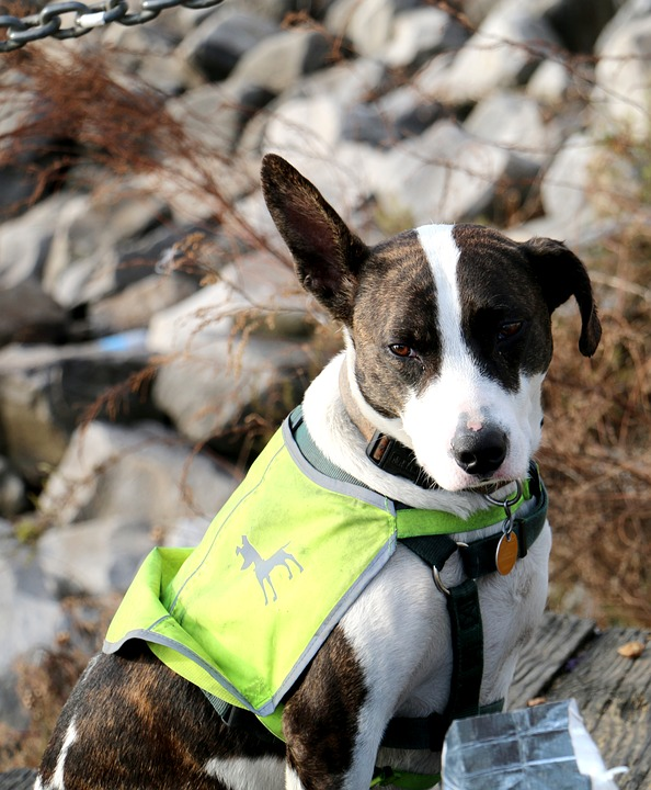 Dog with harness and vest for visibility.