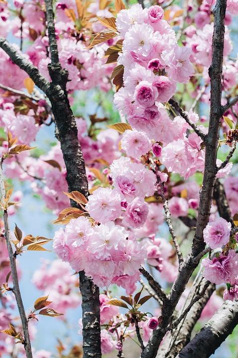 Sakura flower cherry flowers pink free photo on pixabay sakura flower cherry flowers pink flower natural mightylinksfo