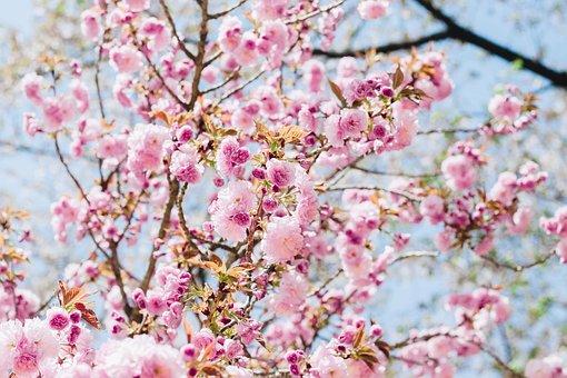 桜, 花, モモの花, ピンクの花, ネイチャー, 春, フラワーズ, 研修