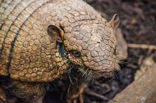 Armadillo, Zoo, Animal, Design, Exotic