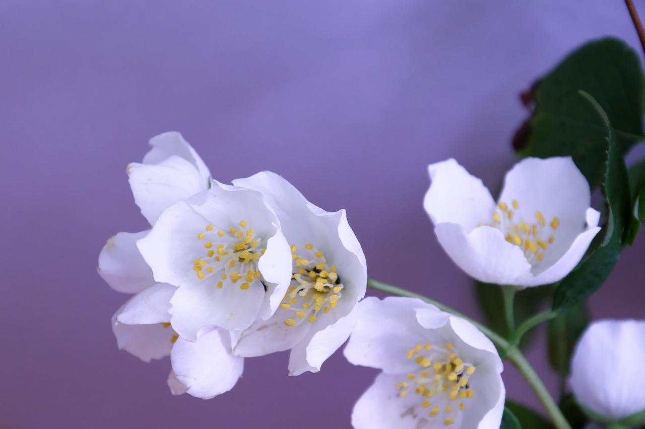Цветы жасмин открытка