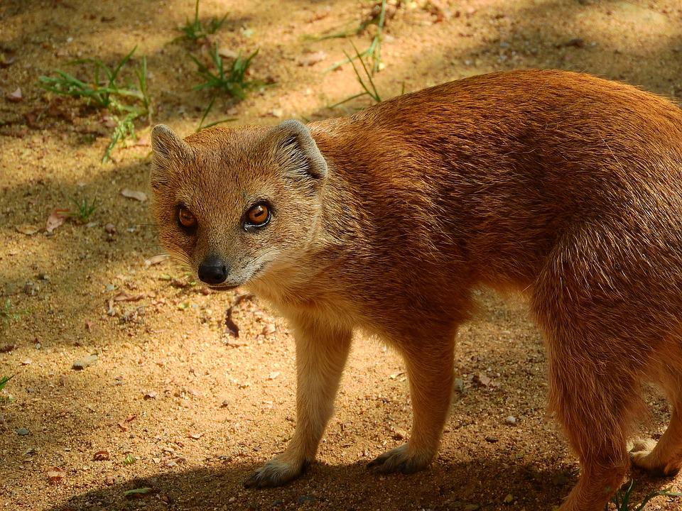 mongoose images pixabay download free pictures