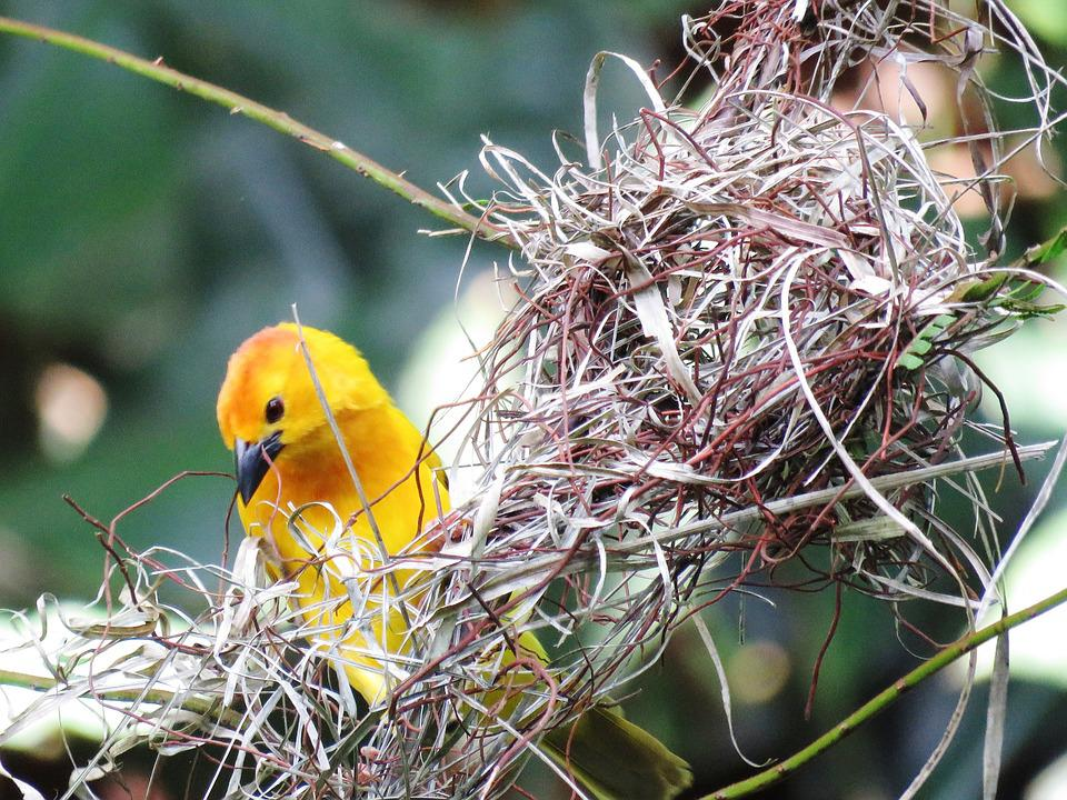 birds Beautiful yellow nests of pictures