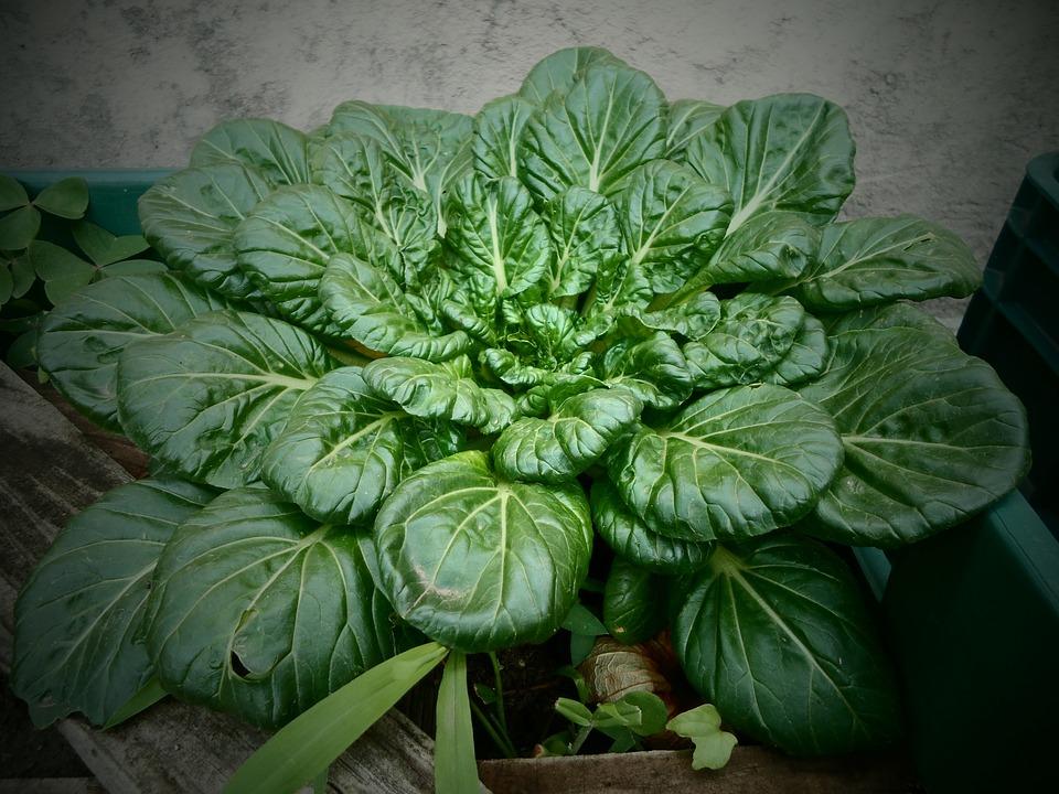 como cultivar espinafres