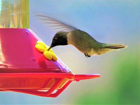 Humming Bird, In Flight, Red Feeder