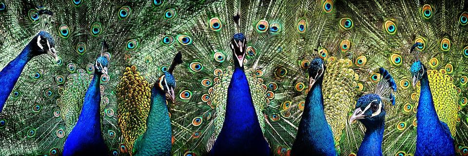 630+ Gambar Burung Merak Kolase Terbaik