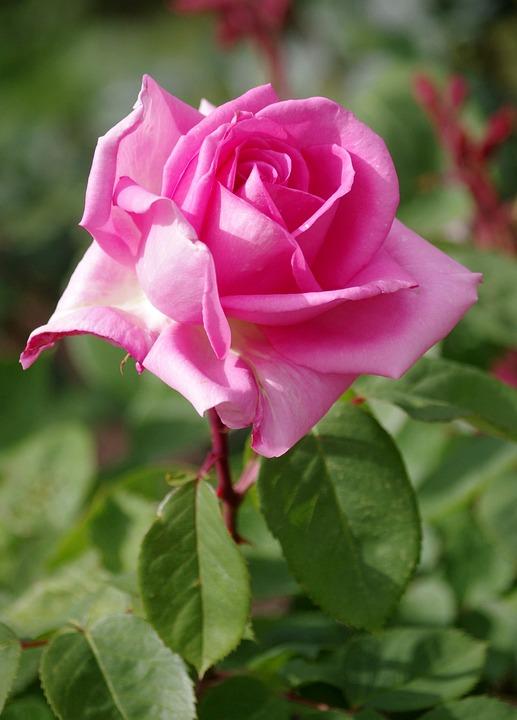 Rose Fiori Colore · Foto gratis su Pixabay