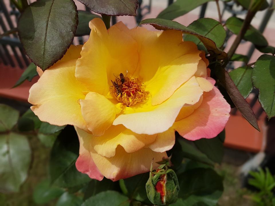 Rose, Fleurs, Été, Juillet