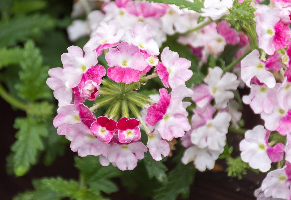 verveine hybride fleur photo gratuite sur pixabay. Black Bedroom Furniture Sets. Home Design Ideas