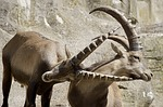 ibex, male, horned