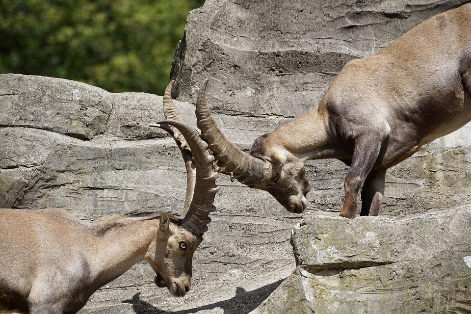 Ibex, Male, Horned, Mammal, Nature, Horns, Capricorn