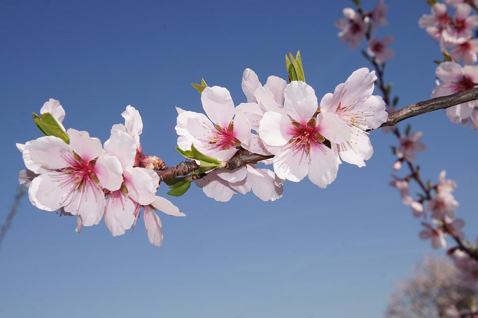 Free Photo Almond Blossom Blossom Palatinate Free