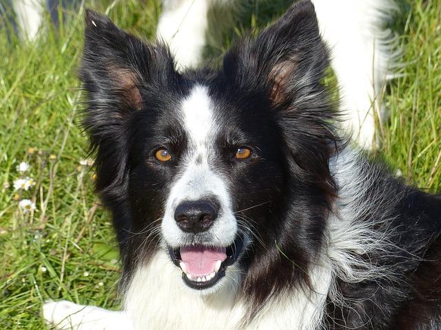 Border Collie Black White Dog 183 Free Photo On Pixabay
