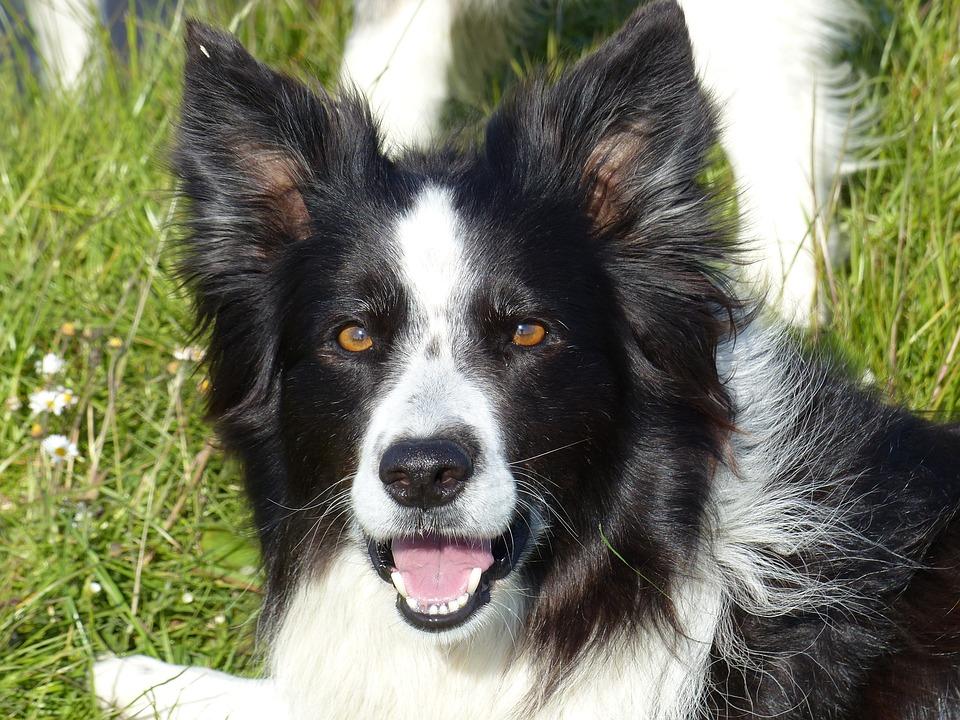 Border Collie Black White Dog · Free photo on Pixabay