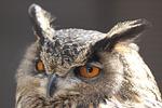 owl, screech-owl