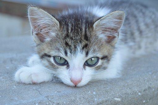 Cat, Kitten, Cat Eyes, Pet, Animal, Cats