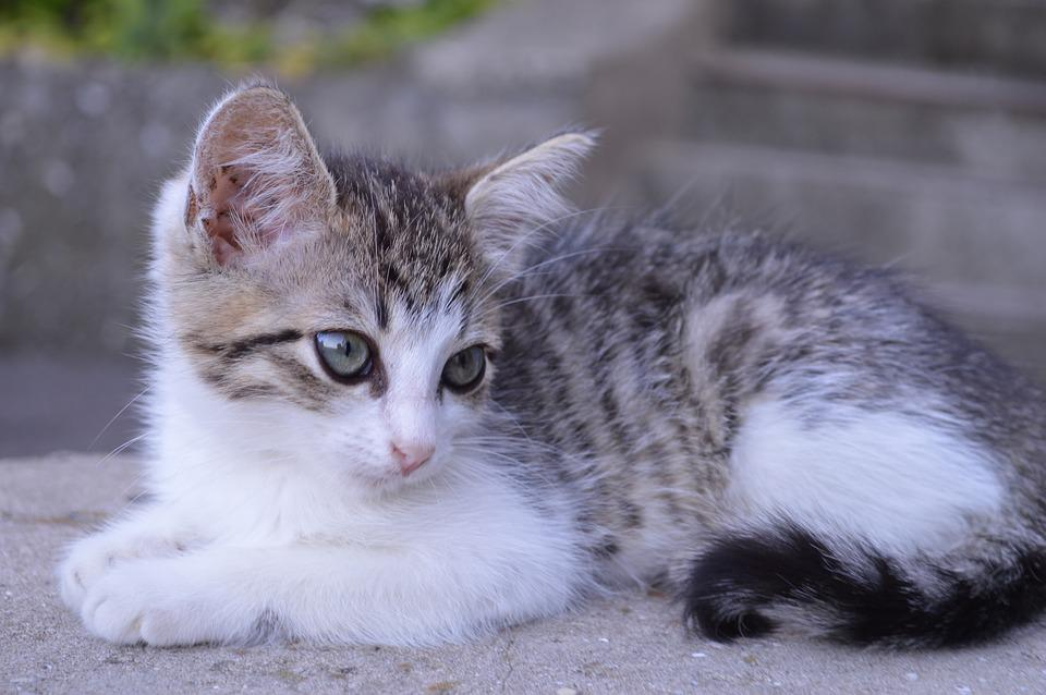 Chat, Chaton, Animal De Compagnie, Mignon, Chats