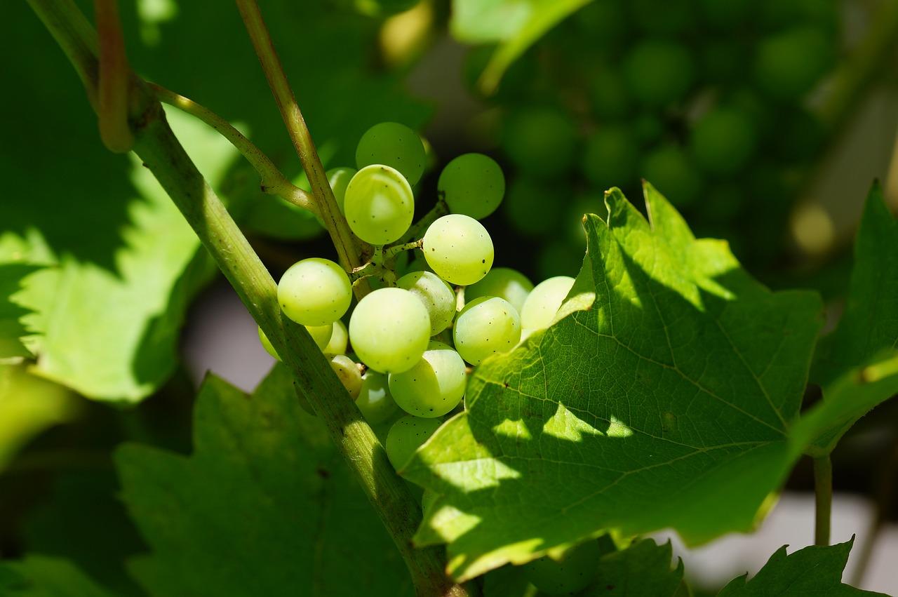 картинки зеленого винограда яиц также можно