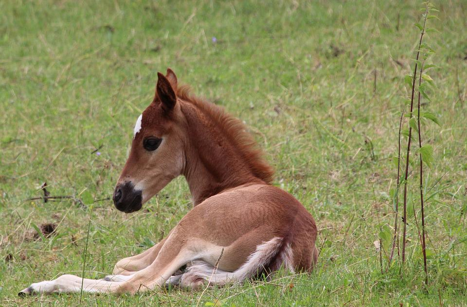 foal lying horse free photo on pixabay