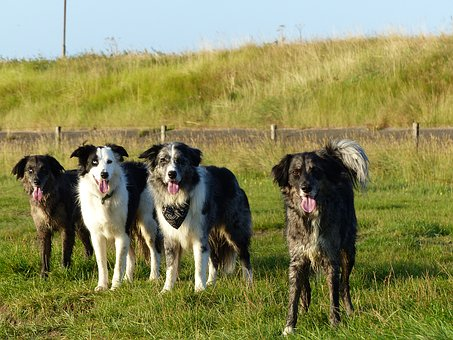 Dogs, Family, Border Collie