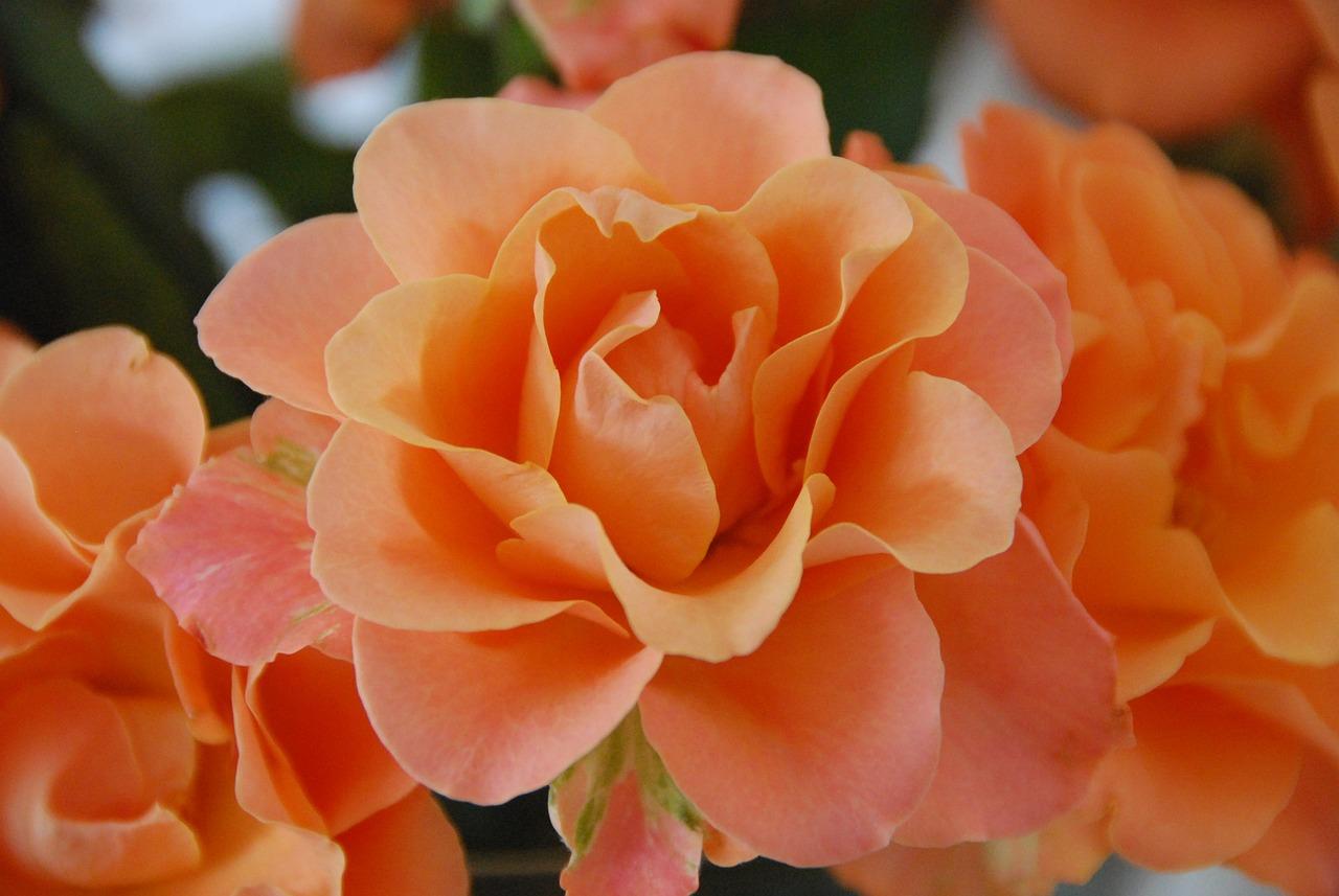 найдите номер розово оранжевые розы картинка спецодежду