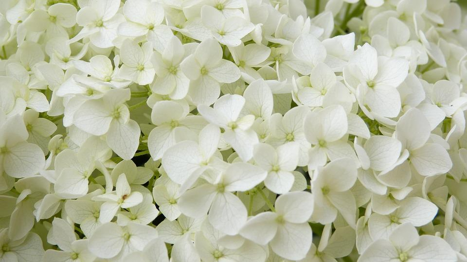 White Flowers Hydrangea Annabelle Free Photo On Pixabay