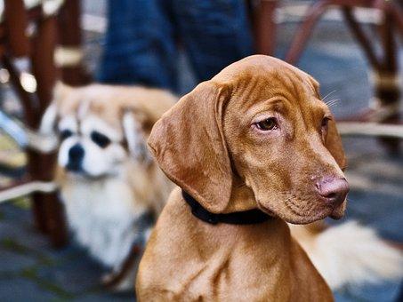 Dogs, Noble, Animal, Head, Fur, Pet