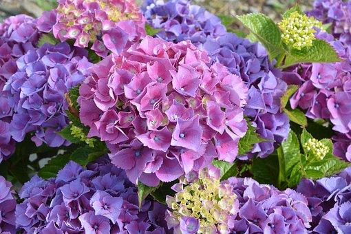 Hydrangea Purple, Flower, Petals, Plant