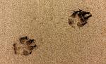 paw, print, dog