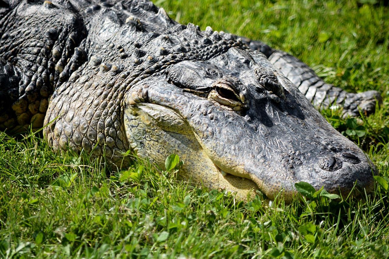 Free pictures of alligators
