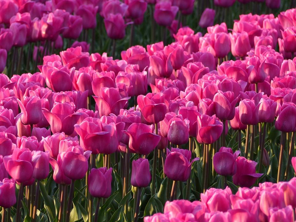 Lampada Fiore Tulipano : Tulipani lampadine bulbo · foto gratis su pixabay