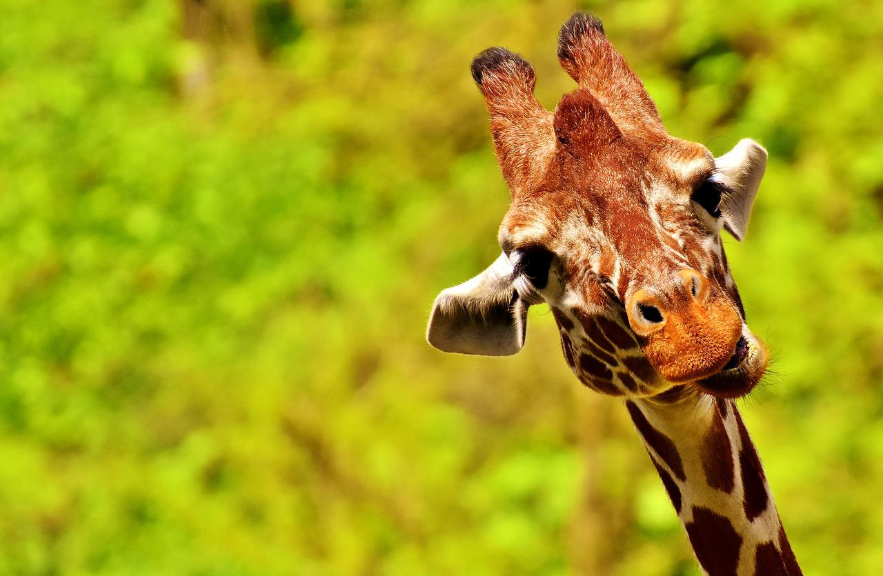 Открытки для, картинки прикольный жираф