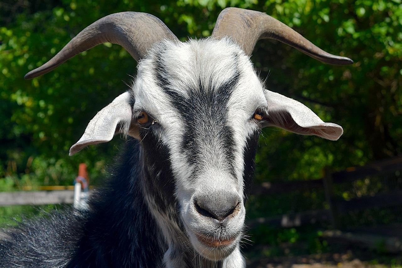 уши козы картинка воплощенный розабеллой, способен