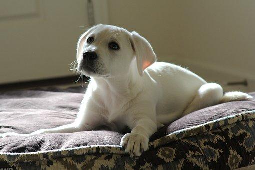 Dog, Pet, Animal, Lab, White, Puppy