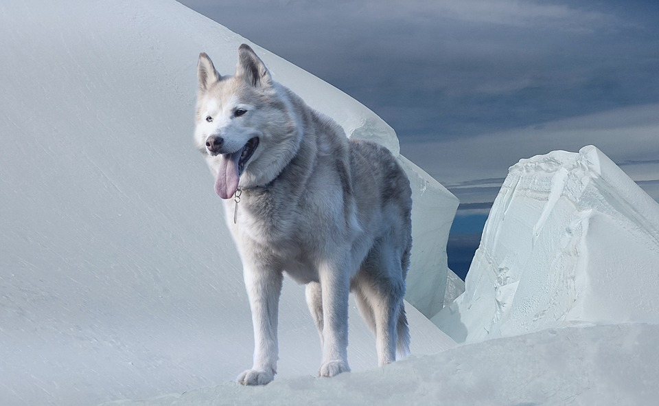 Husky Images Pixabay Download Free Pictures