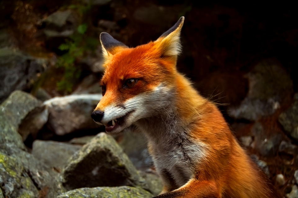 cute red fox